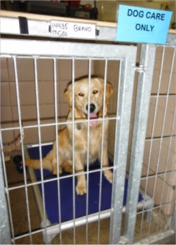 The golden is sitting on a blue canvas dog bed that is inside a large dog kennel. He is looking at the camera with the same happy expression.