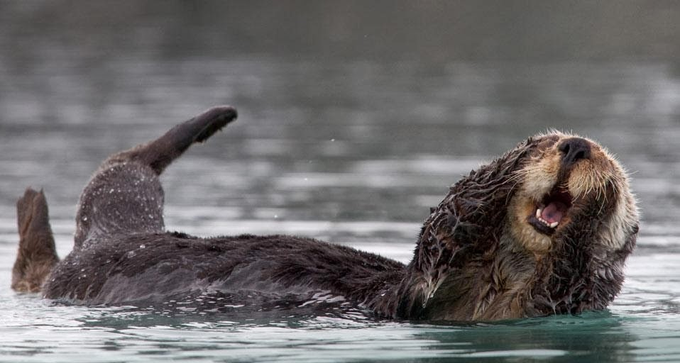 Sea otter grooming in Prince William Sound , Alaska , US Otter Sounds