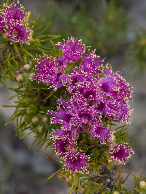 Violet Eremaea (Eremaea violacea)
