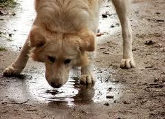 Contagio-leptospirosis-perros