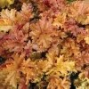 HEUCHERA AMBER WAVES.