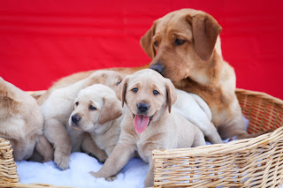 Young yellow lab puppies sit in a basket as their mom looks on.