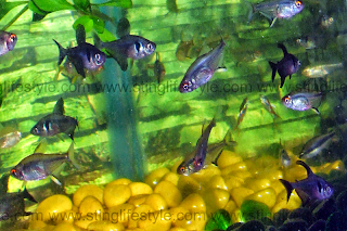 Black phantom tetra fish picture and care