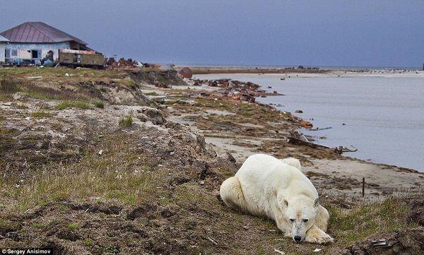 北極熊圖片 :  氣象站出現北熊熊覓食