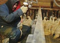Gansos sendo engordados a força para a produção do foie gras