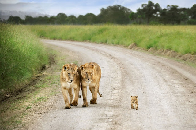 baby lion and two lionesses, funny animal pictures of the week