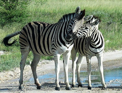 Zebra-and-Baby-Foal-Waterhole