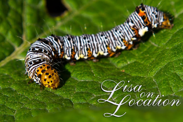 Eight-spotted forester caterpillar