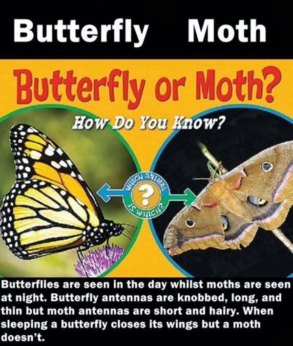 Differences between Butterfly and Moth