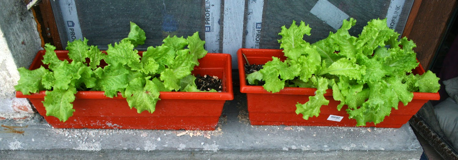 The lettuce are growing very well indeed