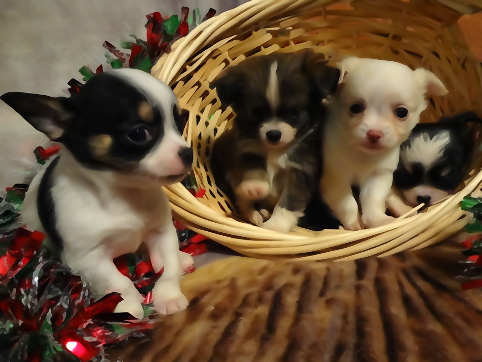 Four Chihuahua puppies 2015