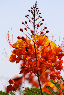 caesalpinia pride of barbados