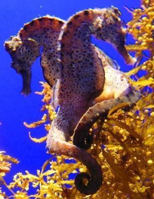Caballitos de mar en pareja