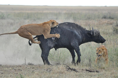 Lion Hunting Buffalo Photo