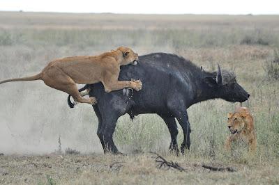 Lion Hunting Buffalo Photo