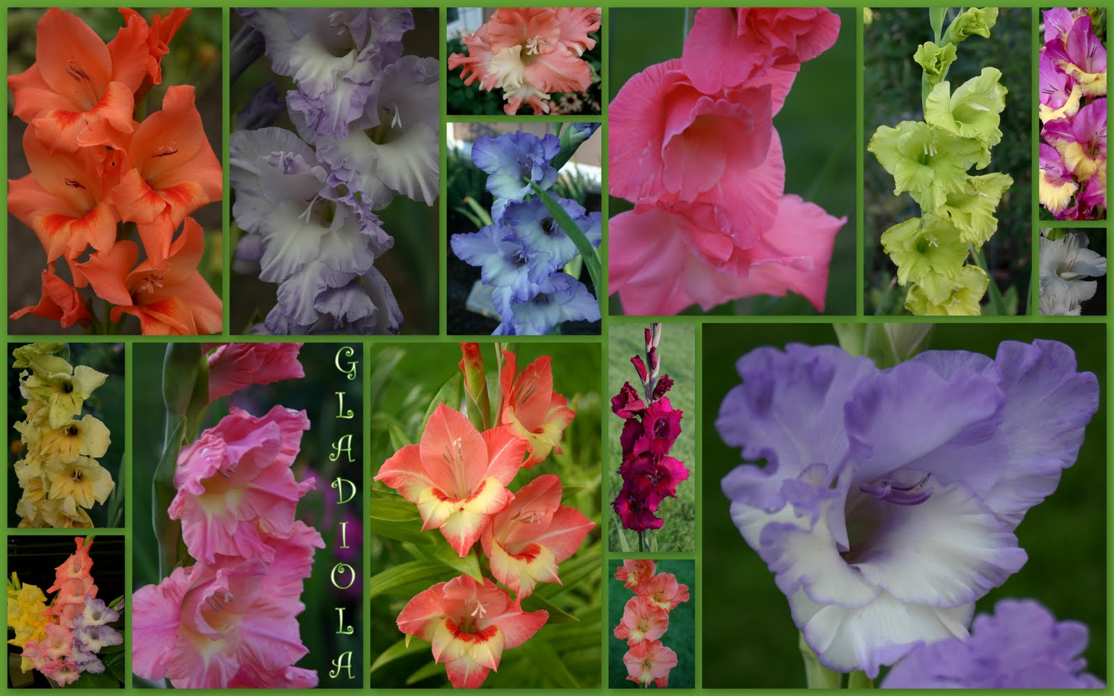 Gladiola Plant Now At Intervals For Summer Long Beauty