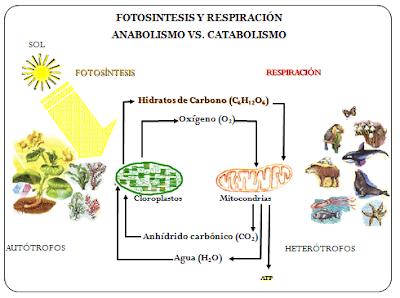 rutas anabolicas de los aminoacidos