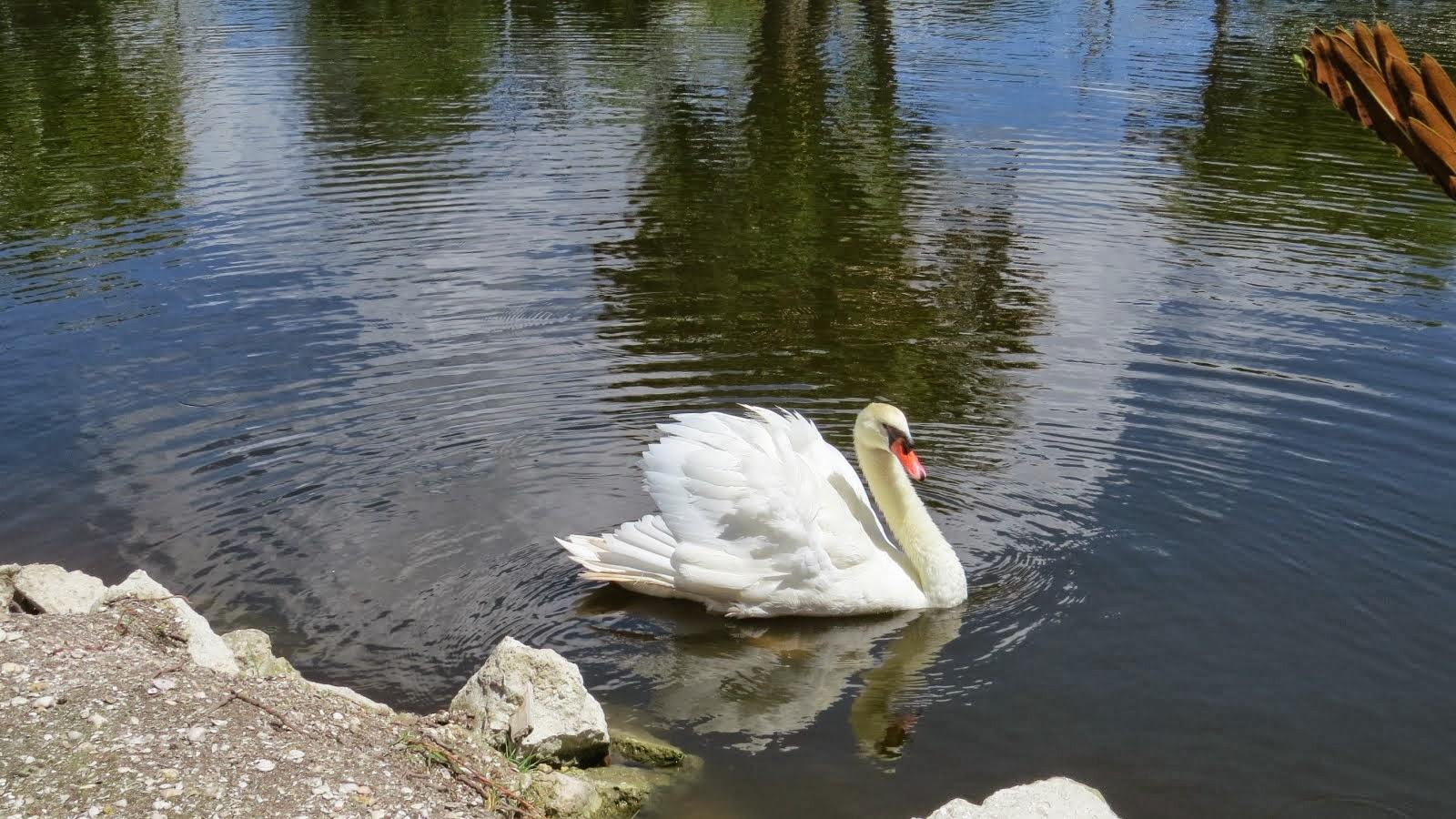 Swan in Periwinkle Park