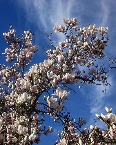 Magnolia, brozzonii, saucer, soulangeana