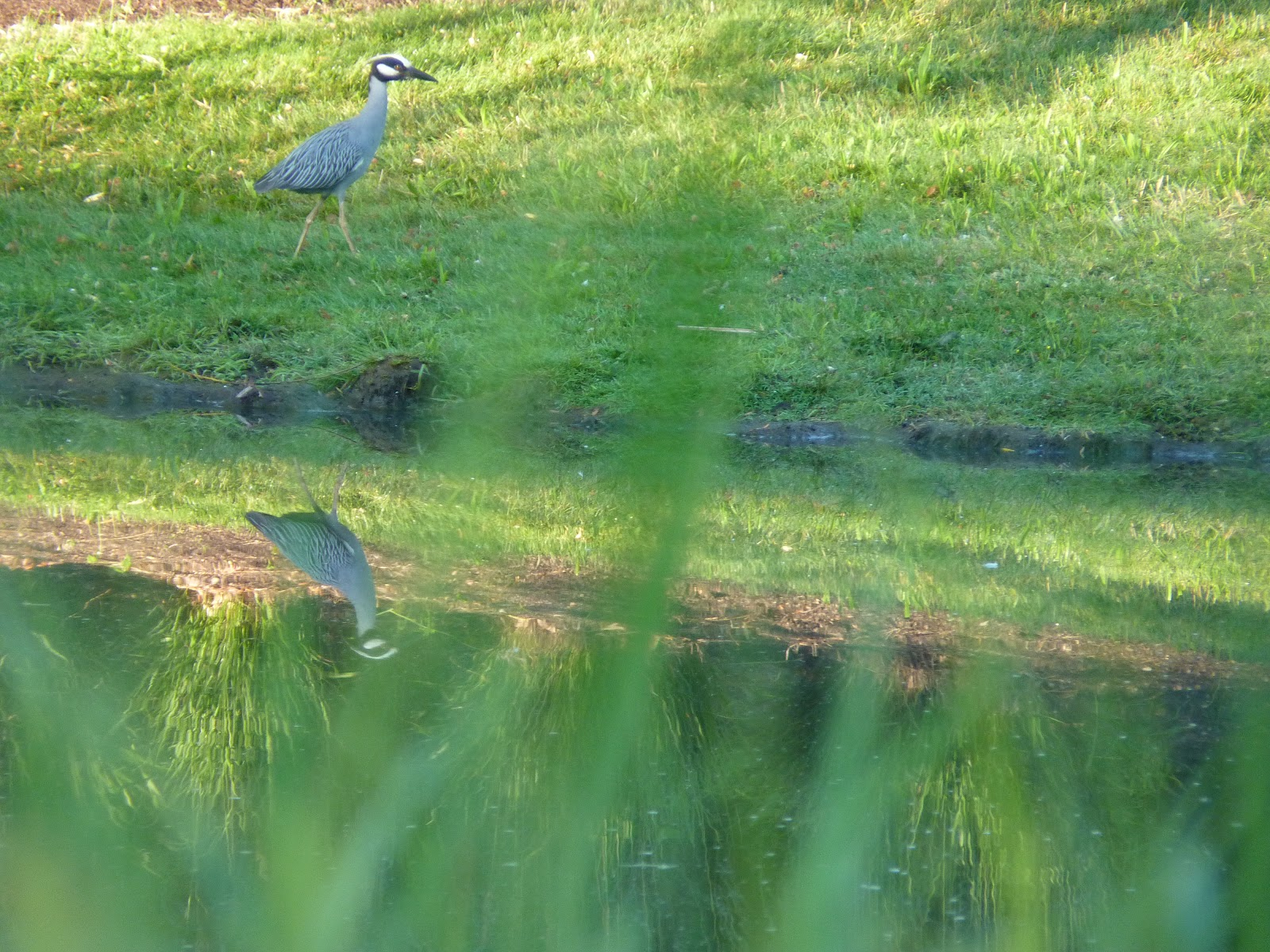 yellow-crowned night heron walking