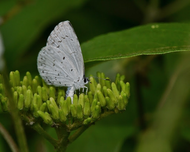 Azure butterfly laying eggs on Swamp Dogwood flowers
