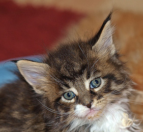 Maine coon with blue eyes