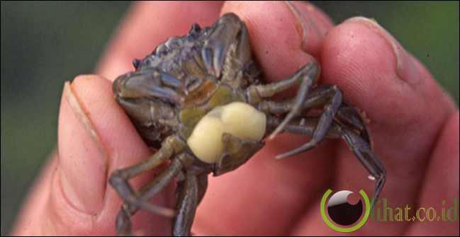 Parasit Kepiting
