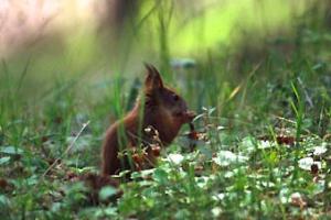 Orava syö ahomansikkaa - Kuvatoimisto Albumi - www.albumi.fi