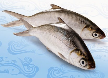 umpan ikan bandeng tambak,umpan ikan bandeng air tawar,mencari umpan ikan bandeng,comments ikan bandeng,pakan ikan bandeng,gambar ikan bandeng,budidaya ikan bandeng,pada ikan bandeng,