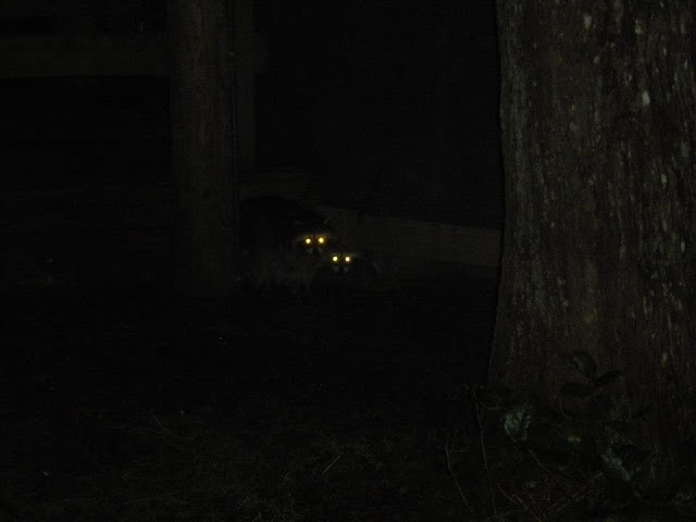 raccoons at cape lookout campground