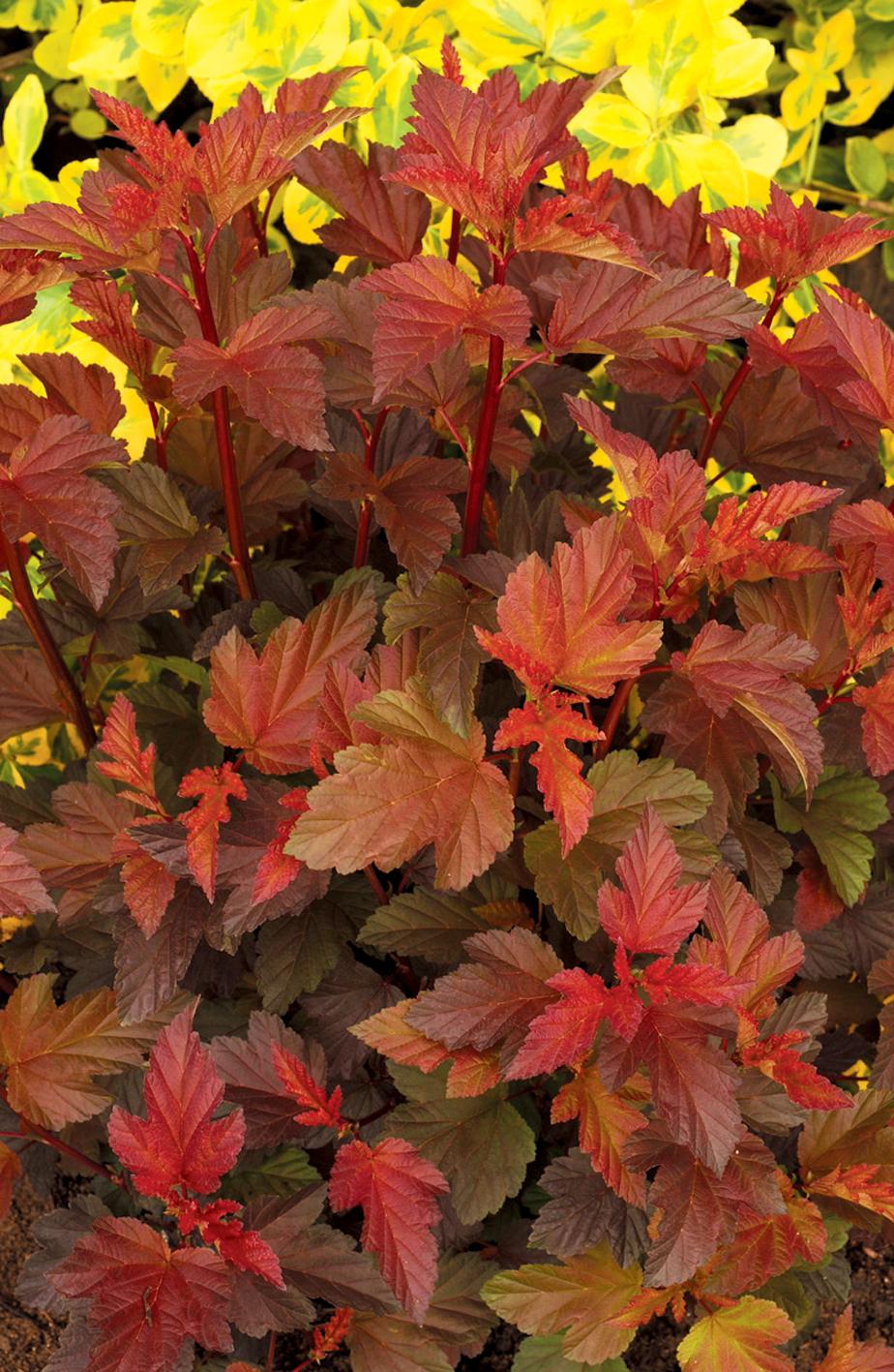 Expert garden bloggers share their favorite shrubs | The Impatient ...