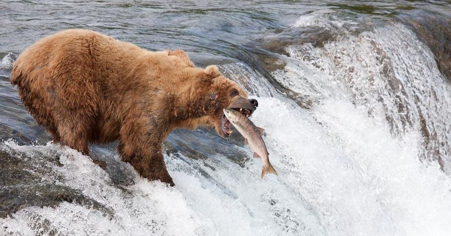 Brown bears fishing