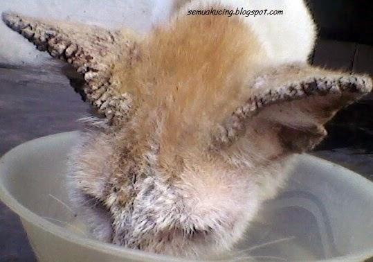cara mengobati kucing yang terkena scabies