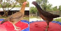 ayam betina indukan ayam bangkok