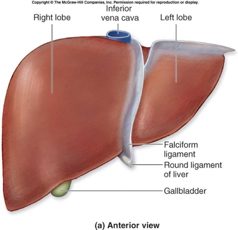 Body anatomy liver
