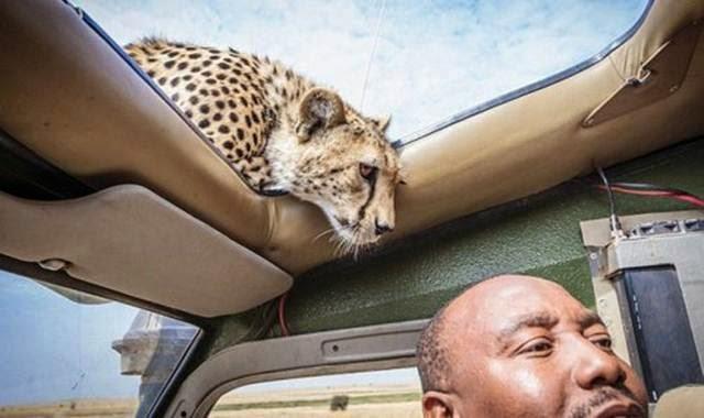 harimau masuk mobil