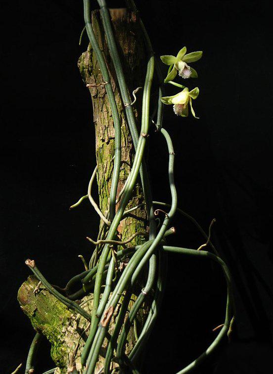 http://1.bp.blogspot.com/-gudNlF8lPpo/TlnQFIDv32I/AAAAAAAAAas/YKfL00UKDAs/s1600/Vanilla+aphylla_2178.jpg