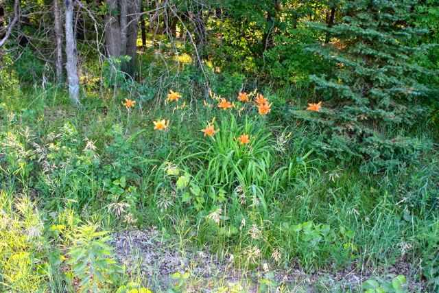 day lilies in bloom