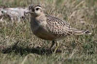 http://keithscovell.blogspot.co.uk/2013/09/dotterel.html