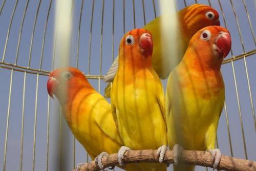 lovebird-lutino-kuning
