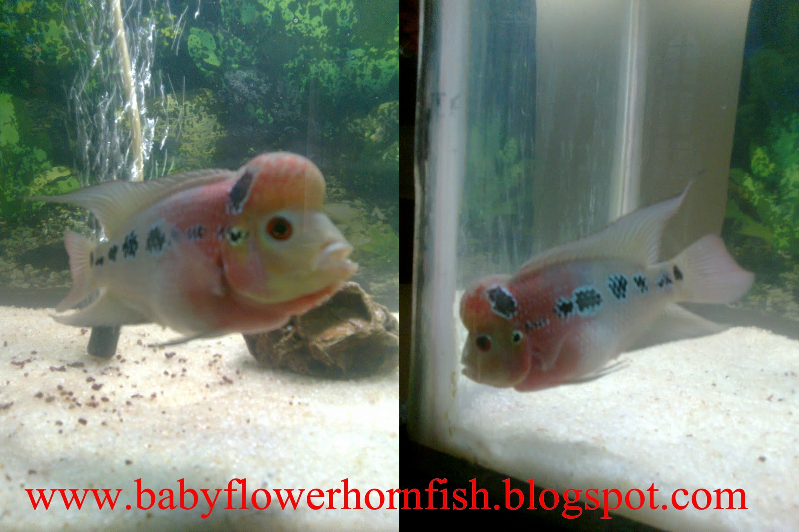 How to grow a baby flower horn in this snap you can see hump formationgood shape nvjuhfo Gallery