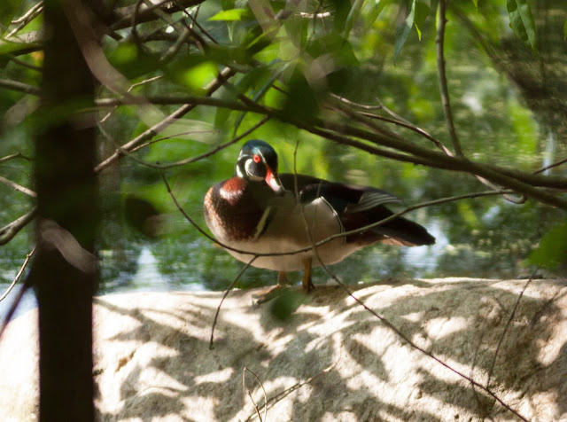 Wood Duck - Prospect Park, New York