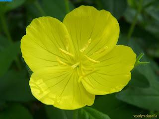 صور زهرة الربيع