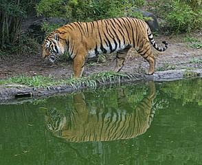 Gambar Harimau Indocina