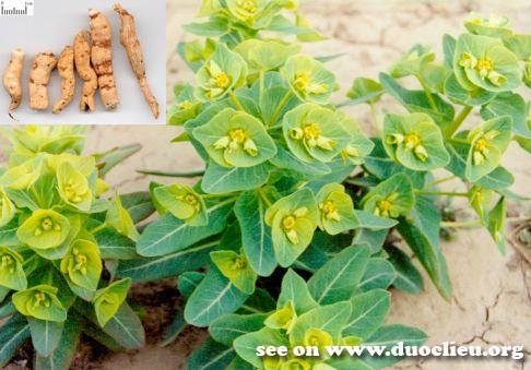 Euphorbia kansui T. N. Liou ex T. P. Wang