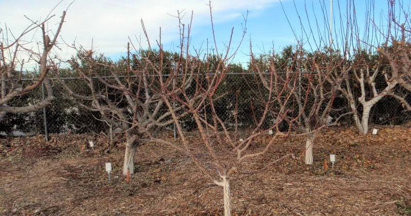 Pity, pruning asian pear trees 5440