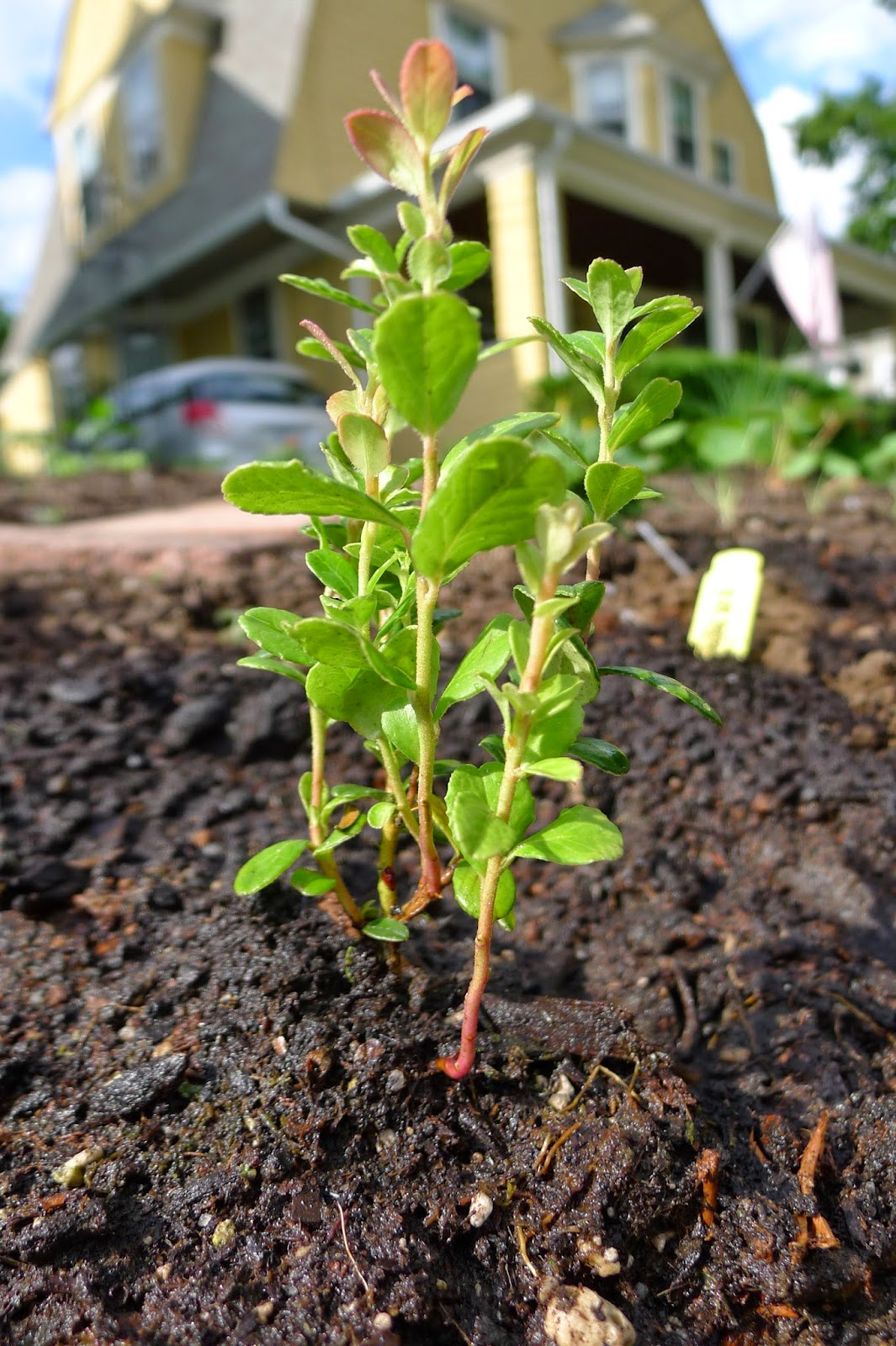 Balsgart Lingonberry, edible landscaping