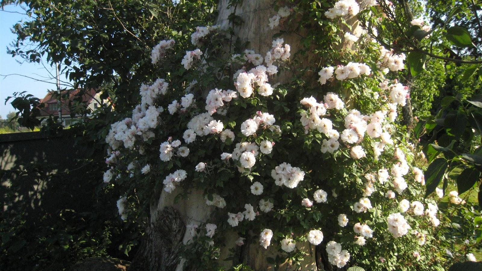 Mariehem i skåne: rosflyttning