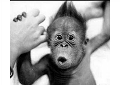 si, otra vez un simio