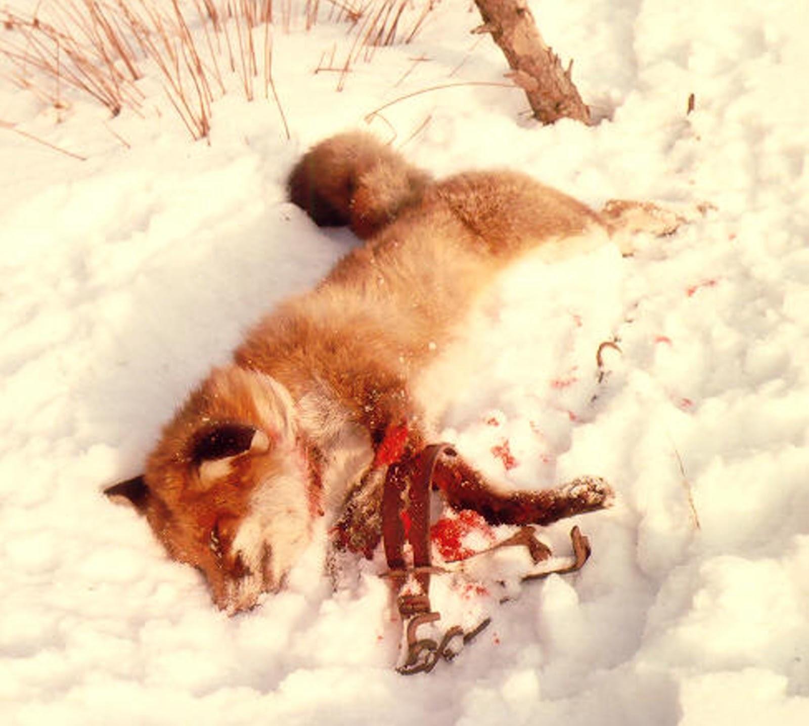http://1.bp.blogspot.com/-gyOr-LFb24g/T0tmYNFA9dI/AAAAAAAAHDo/dZ2CiekRweU/s1600/Fuchs+in+Falle+3+W+Proehl.jpg